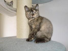 Foto 2 Bkh Baby Kitten Queen Mary vom Knuddelzoo Katze Mädchen Chocolate tortie
