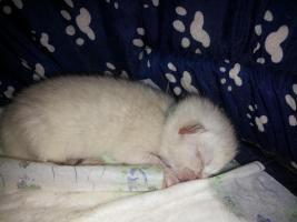 Bkh Kitten in point, blue und tabby