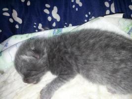 Foto 3 Bkh Kitten in point, blue und tabby