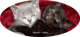 Foto 2 Bkh Kitten, reinrassig mit Papiere