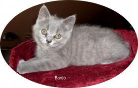 Foto 5 Bkh Kitten, reinrassig mit Papiere