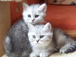 Bkh - Kätzchen , in silver und gold abzugeben ...
