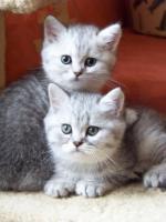Foto 2 Bkh - Kätzchen , in silver und gold abzugeben ...