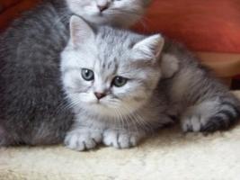Foto 3 Bkh - Kätzchen , in silver und gold abzugeben ...