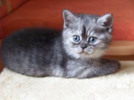 Foto 4 Bkh - Kätzchen , in silver und gold abzugeben ...