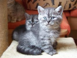 Foto 5 Bkh - Kätzchen , in silver und gold abzugeben ...