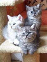 Foto 6 Bkh - Kätzchen , in silver und gold abzugeben ...