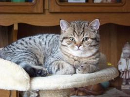 Foto 7 Bkh - Kätzchen , in silver und gold abzugeben ...