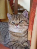 Foto 8 Bkh - Kätzchen , in silver und gold abzugeben ...