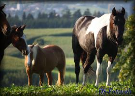 Foto 5 Black Tobiano Paint Horse Stute