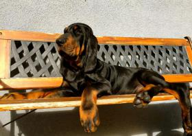 Black and Tan Coonhound mit Papiere