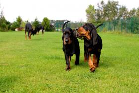 Foto 2 Black and Tan Coonhound mit Papiere