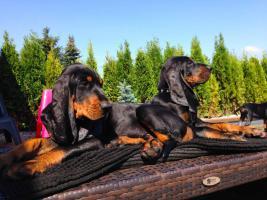 Black and Tan Coonhound mit Stammbaum