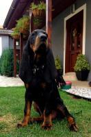 Foto 2 Black and Tan Coonhound mit Stammbaum