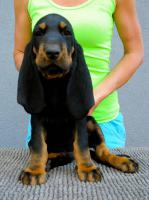Black and Tan Coonhound Welpen aus Hobbyzucht mit Papiere