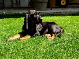 Foto 2 Black and Tan Coonhound Welpen aus Hobbyzucht mit Papiere