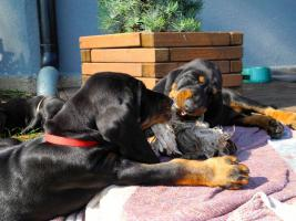 Foto 4 Black and Tan Coonhound Welpen aus Hobbyzucht mit Papiere