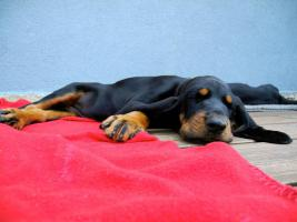 Foto 5 Black and Tan Coonhound Welpen aus Hobbyzucht mit Papiere