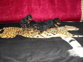 Black&tan Zwergpinscher Welpen