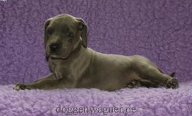 Foto 2 Blaue Deutsche Doggen Welpen
