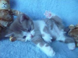 Blaue Rasse - K�tzin und Kitten abzugeben