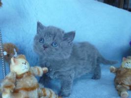Foto 2 Blaue Rasse - K�tzin und Kitten abzugeben