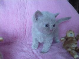 Foto 3 Blaue Rasse - K�tzin und Kitten abzugeben