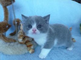 Foto 4 Blaue Rasse - K�tzin und Kitten abzugeben
