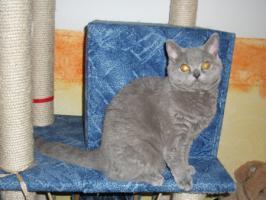 Foto 5 Blaue Rasse - K�tzin und Kitten abzugeben