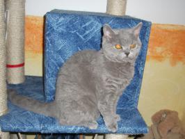 Foto 6 Blaue Rasse - K�tzin und Kitten abzugeben