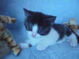 Foto 7 Blaue Rasse - K�tzin und Kitten abzugeben
