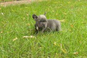 Blaue französische Bulldogge