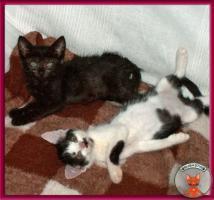 Foto 4 Blini: ein süßes, pfiffiges Katzenbaby