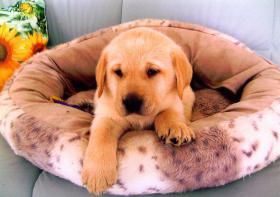 Foto 5 Blonde Labrador Welpen nur in liebevolle Hände !