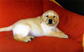Foto 6 Blonde Labrador Welpen nur in liebevolle Hände !
