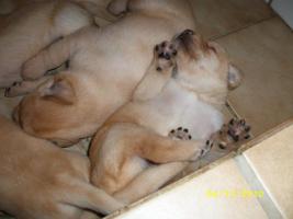 Blonde Labradorwelpen