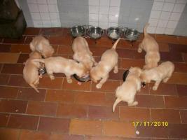 Foto 2 Blonde Labradorwelpen