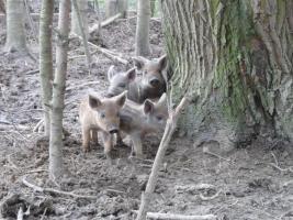 Blonde Wollschweinferkel zu verkaufen