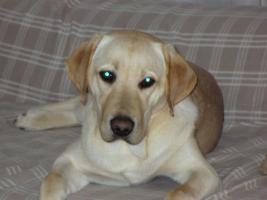 Blonder Labradorrüde