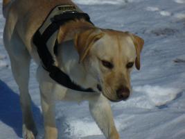 Foto 3 Blonder Labradorrüde