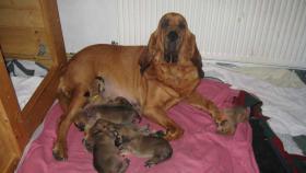 Foto 2 Bloodhound-Welpen
