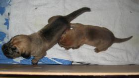 Foto 3 Bloodhound-Welpen