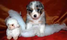 Foto 2 Blue Merle Australian Shepherd Welpe ''Ninjo''