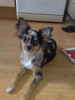 Blue Merle Chihuahua Deckrüde mit Papiere aus guter Linie