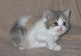 Foto 3 Blue-torbie-white Kätzchen