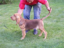 Bluthund H�ndinnen zum Vum verkauf