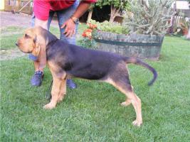 Foto 3 Bluthund Hündinnen zum Vum verkauf