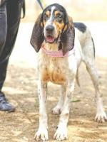 Foto 2 Bluthund Mix NISAN sucht ein Zuhause oder PS