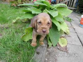 Foto 2 Bluthund Welpen