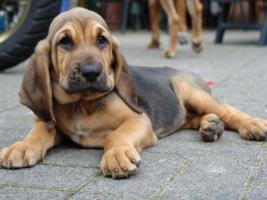Bluthund Welpen